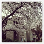 Spring Blossoms in Tigard